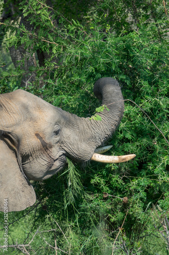 Fotografie, Obraz  Elefant, Südafrika, Afrika