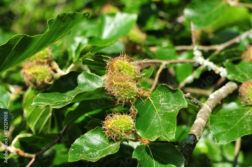 Stampa su Tela close up of a beech tree with female flowers