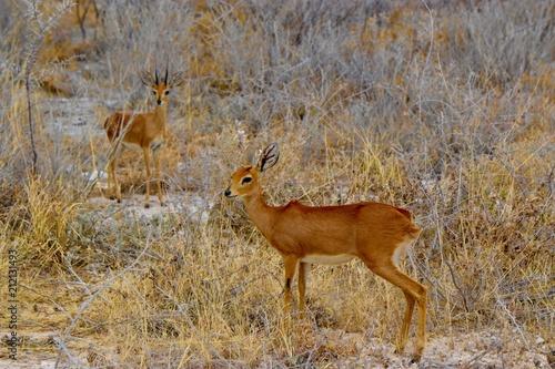 Tuinposter Antilope Petite antilope
