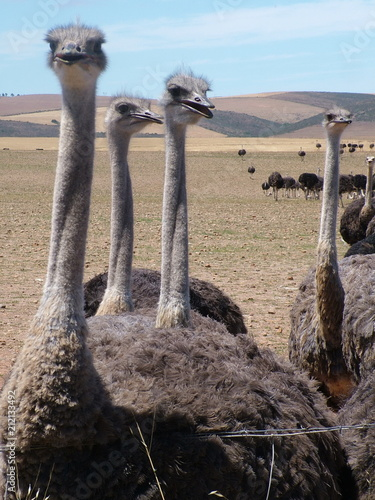 Stickers pour porte Autruche Group of ostriches near Heidelberg, Western Cape Province, South Africa