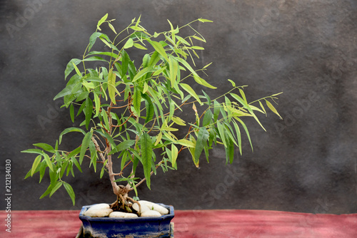 eucalyptus bonsai on blue pot