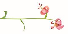Flowering Martagon Lily (Lilium Martagon) Isolated On White Background