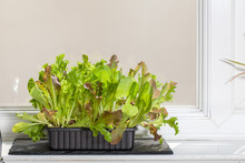 Home-grown Organic Vegetables. Lettuce Plants Growing On A Kitchen Windowsill