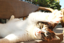 Cat Taking Selfie Concept. Close Up Portrait Of Cute Playful Calico Kitty With Adorable Pink Nose Lying On The Wooden Chair Basking In Sunlight, Holding Camera With Its Paws. Lazy Feline Background.