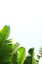 Bunch Of Tropical Banana Palm ...