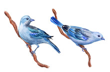 Blue Bird, Watercolor Painting On White Background, Isolated. Blue  Tanagra (Thraupis Episcopus), Illustration, Hand Drawing.