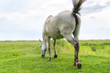 Mare grazing on the pasture, waving his tail and flies away from himself, rear view, countryside