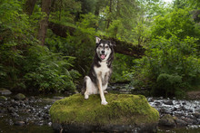 Dog With Three Legs On Rock In Forest