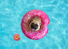Cute Pug Floating In A Swimming Pool With A Pink Donut Ring Flotation Device