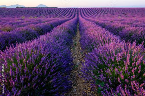 Tuinposter Lavendel Champ de lavande en fleurs, lever de soleil. Plateau de Valensole, Provence, France.
