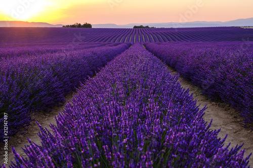 Tuinposter Lavendel Champ de lavande en fleurs, coucher de soleil. Plateau de Valensole, Provence, France.