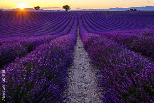 Poster Lavendel Champ de lavande en fleurs, coucher de soleil. Plateau de Valensole, Provence, France.
