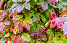 Wild Grape Leaves Background P...