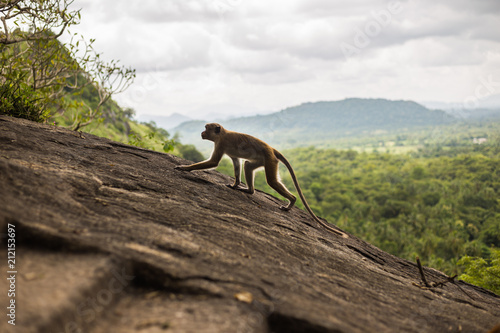 Foto op Aluminium Aap Toque macaque monkey climbing on the hill at Sri Lanka.