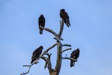 Four Turkey Vultures Perched A...