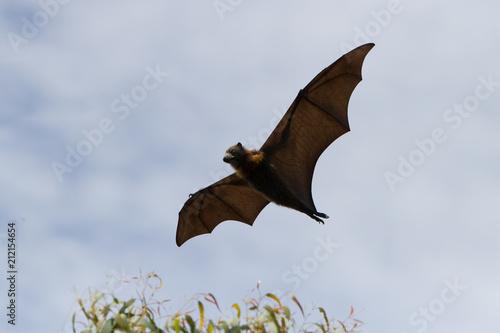 Flying Fox Gracefully Soaring Poster