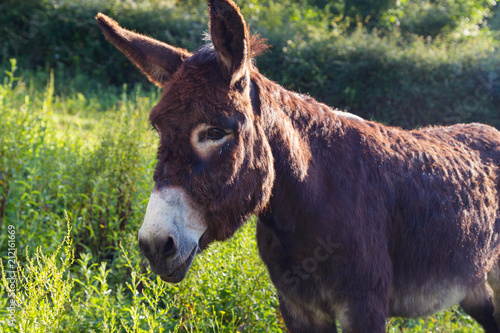Portrait of a lovely fluffy donkey, Equus asinus, in the middle of the meadow. In a sunny morning.