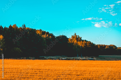Foto op Plexiglas Turkoois orange corn field with forest behind