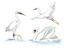 White Watercolor Painted Swan And Stork