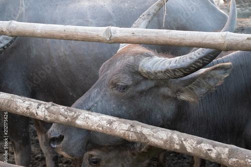 Staande foto Buffel Group of buffalo herd sunset moment