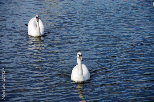 Foto op Aluminium Zwaan White swan floating in the water