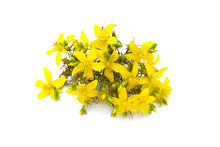 St John's Wort, Yellow Blossom Of Tutsan Bush, Herbal Medicinal Hypericum Perforatum Plant, Isolated On White Background