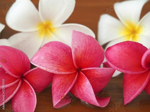 Spoed Foto op Canvas Frangipani Frangipani tropical flowers, Plumeria flowers fresh