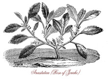 Vintage Botanical Engraving Of Anastatica Or White Mustard Flower, Common Called Rose Of Jericho, With Small White Flowers. It Grows In Desertic And Arid Areas In Noth Africa And Middle East
