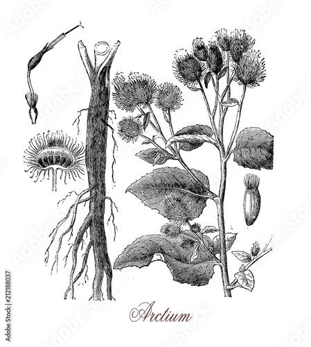 Foto burdock or arctium, plant with prickly heads