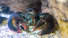 Lobster Under Water On A Rocky...