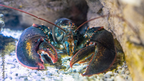 Leinwand Poster Lobster under water on a rocky bottom
