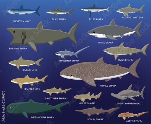Fototapeta premium Porównanie wielkości dużych rekinów ilustracja kreskówka wektor