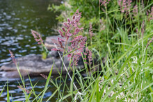 Tall Purple Weeds Next To River