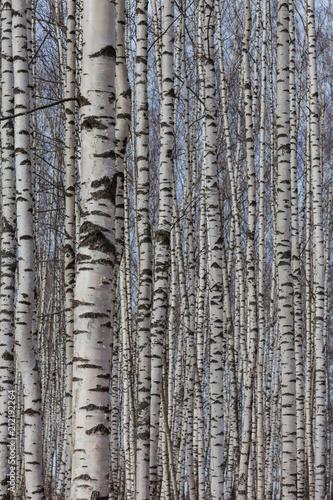 Fototapety, obrazy: Birch Grove in the early spring