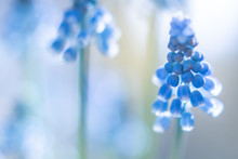 Blue Hyacinths Spring Flowers Nature Backgrounds