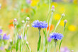 canvas print picture - Kornblumen auf der Wiese