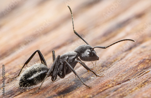 Ant on an old wooden background close-up