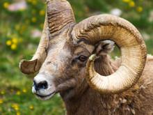 Bighorn Sheep RMNP Denali Colo...