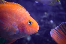Blood Parrot Cichlid Or Parrot Cichlid, Big Beautiful Red Fish, Portrait Of Fish