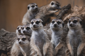 few lovely meerkats sitting or standing, looking at the others, really cute adorable favorite animals