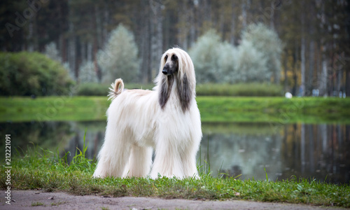 Autumn Afghan hound, lake mist, beautiful pedigree dog on the background of the Wallpaper Mural
