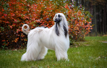Autumn. Afghan Hound Slender And Beautiful Standing In The Bushes, The Wind Blows On The Wool