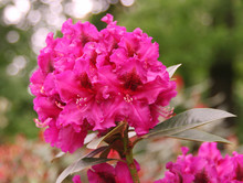 Pink Rhododendron In The Garden