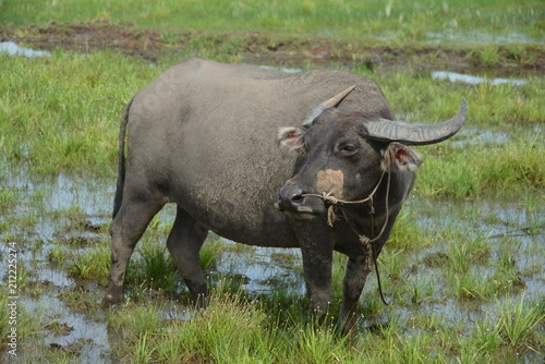 Staande foto Buffel Buffalo