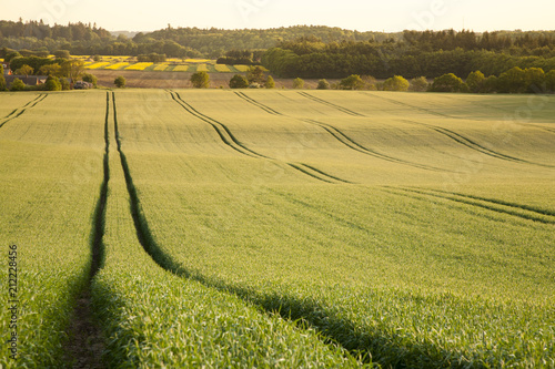Fotobehang Platteland corn field with tractor tracks and low sunlight