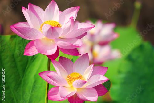 Foto op Canvas Lotusbloem Beautiful pink lotus flower in blooming
