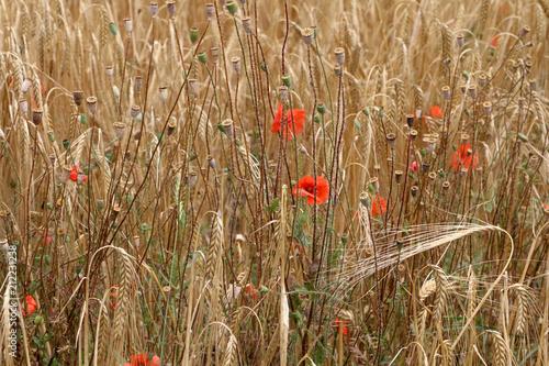 Foto op Canvas Klaprozen hermoso campo amarillo con flores rojas