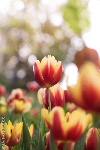 Poster Tulp close up red tulip in garden