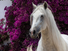 You Don't Get A More Beautiful Stallion Than This Spanish PRE Horse.