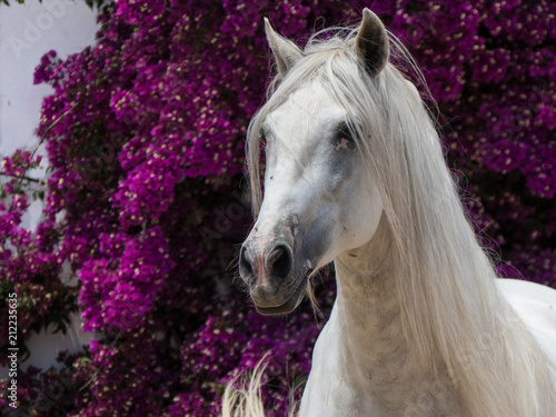 Fototapeta You don't get a more beautiful stallion than this Spanish PRE horse